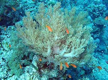 Коралл. Красное море 2008.