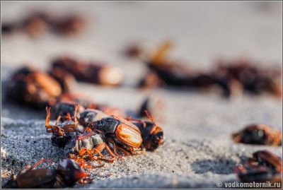 Битва майских жуков