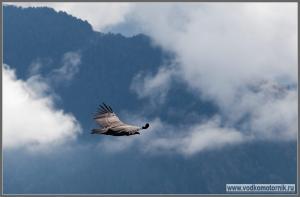 Орлан в Пиренеях