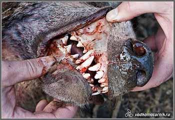 Зубы волка