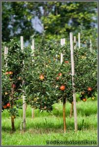 Норвежские яблоки