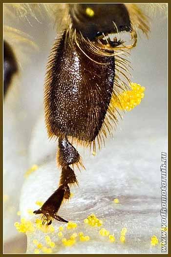 Бедро пчелы.