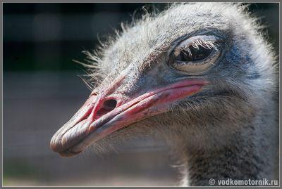 Портрет страуса-2