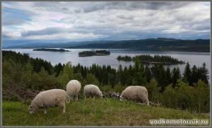 Северная Норвегия - бараны