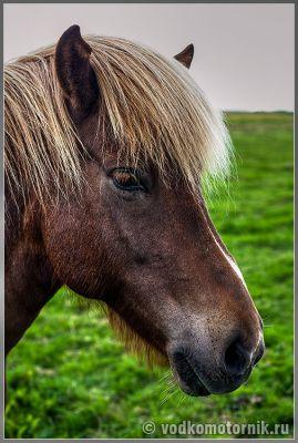 Исландский конь панкует